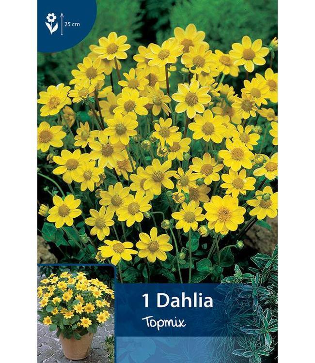 Dahlia Topmix Geel