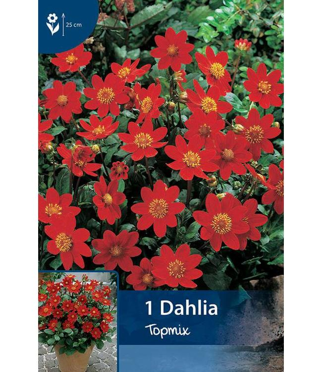 Dahlia Topmix Rood