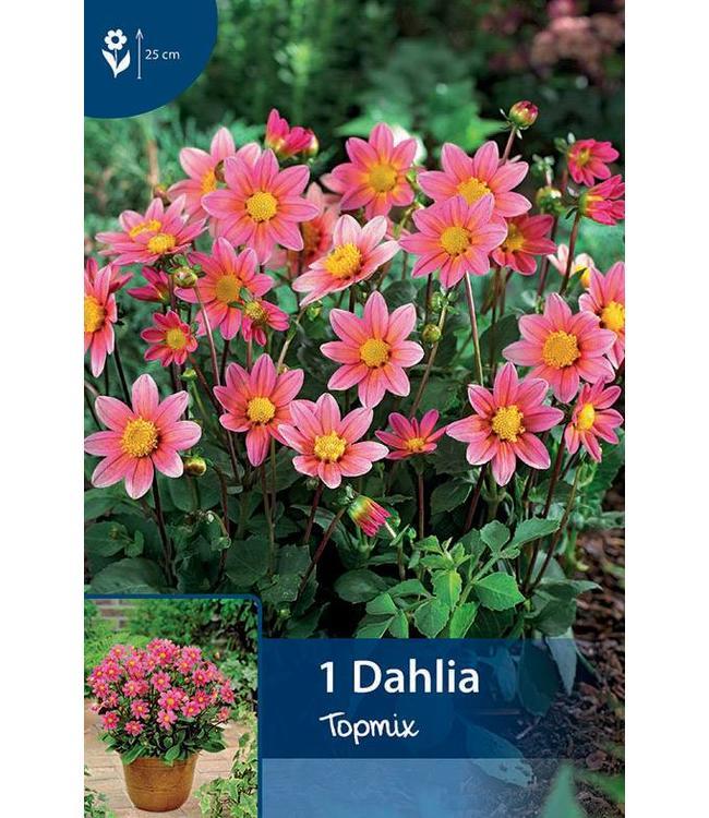 Dahlia Topmix Roze