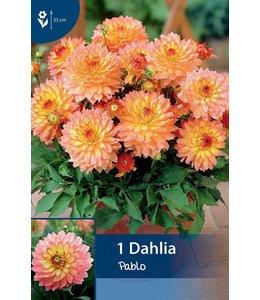 Dahlia Pablo