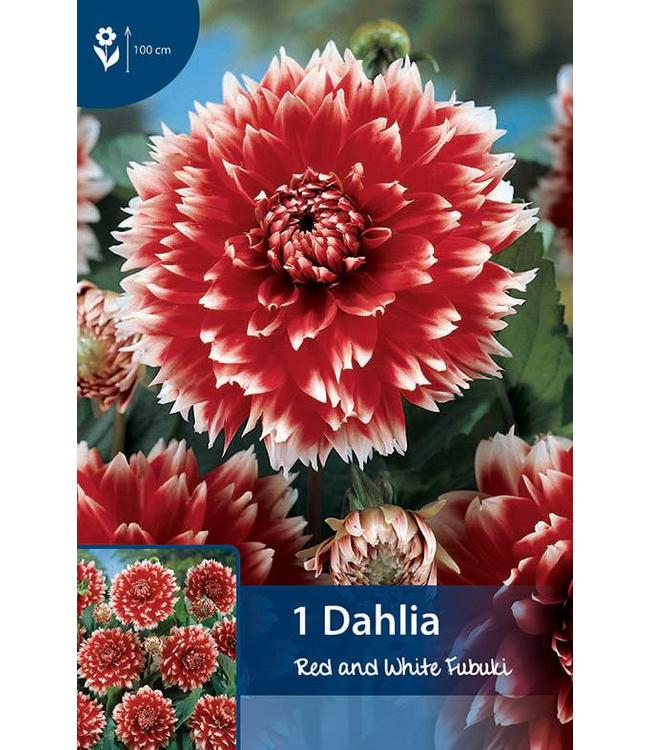 Dahlia Red and White Fubuki