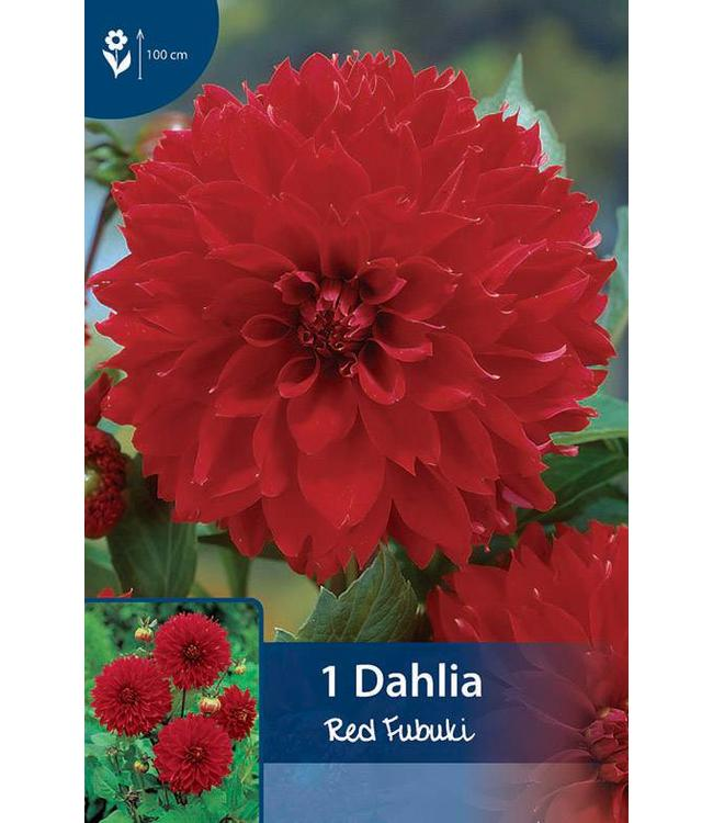 Dahlia Red Fubuki