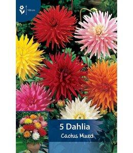 Dahlia Cactus Gemengd