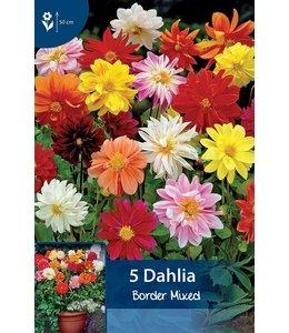 Dahlia Border Mischung