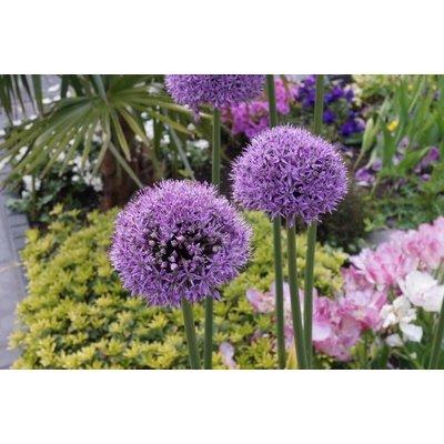 Allium's