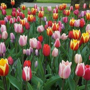 Tulip Bulbs Bulbs4you
