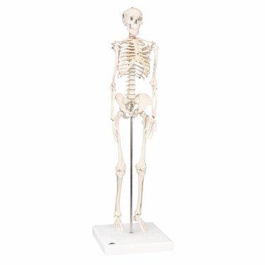 "3B Scientific Mini Skeleton A18 ""Shorty"" 80cm"