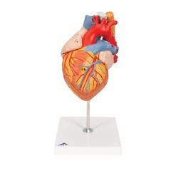 3B Scientific Hart met slokdarm en luchtpijp