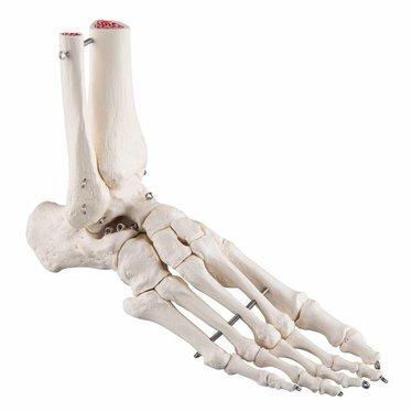 3B Scientific Voet skelet