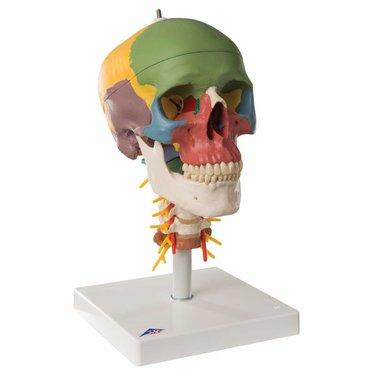 3B Scientific Didactische schedel op cervicale wervelkolom A20/2