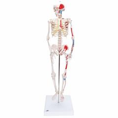 3B Scientific Geavanceerd 80cm skelet
