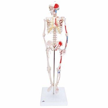 3B Scientific Geavanceerd 80cm skelet, met spieraanduiding A18/5