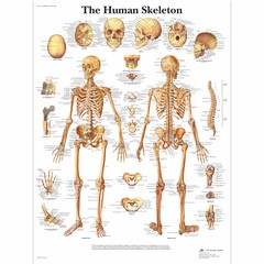 3B Scientific Poster Skeletal system
