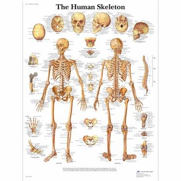 3B Scientific Poster Skeletal system