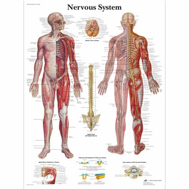 3B Scientific Poster Nervous system