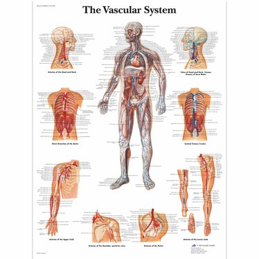 3B Scientific Poster Vascular System