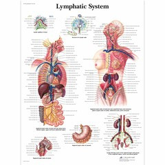 3B Scientific Poster Lymfesysteem