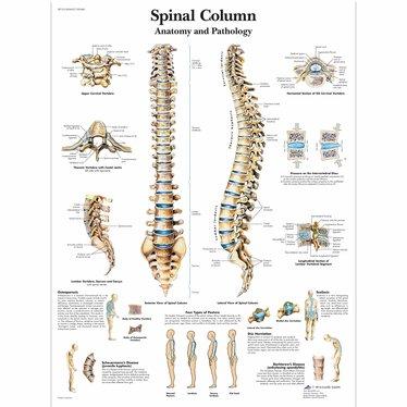 3B Scientific Poster Spinal Column
