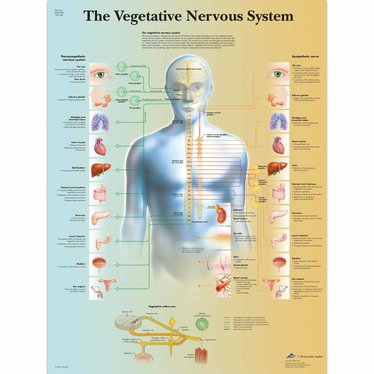 3B Scientific Poster Vegatative Nervous System