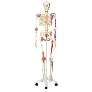 3B Scientific Skelet A13