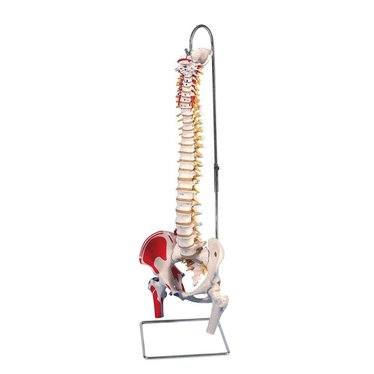 3B Scientific Wervelkolom flexibel A58/3
