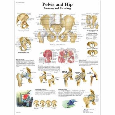 3B Scientific Poster Pelvis and hip