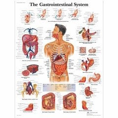 3B Scientific Poster Gastrointestinal system