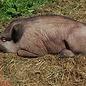 Natur Foam 3D Target Wild Boar - Lying