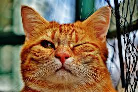 Hoe vang ik een kat met een vangkooi?