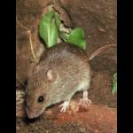 Last van muizen?
