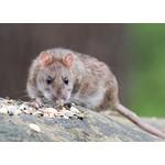 Ratten diervriendelijke val