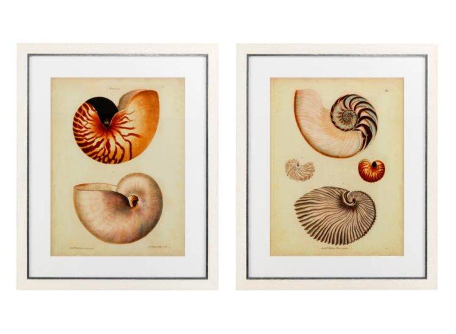 Antique Nautilus prints