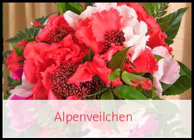 Alpenveilchen