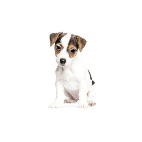 Kek Amsterdam Cachorro Vinilos decorativos Jack Russell, 12x20cm