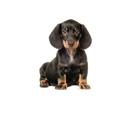 Kek Amsterdam Wall Decal Dachshund puppy, 17x23cm