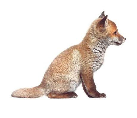 Kek Amsterdam Tatuajes de pared Fox del bebé, marrón, 34x26cm
