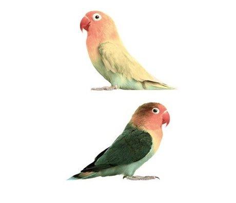 Kek Amsterdam Adesivo pappagallino, 23x17cm
