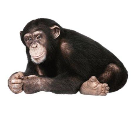 Kek Amsterdam Wall Decal chimpanzee, 29x44cm