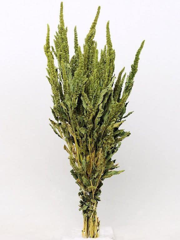 DF Amaranthus Green 70 cm per stem