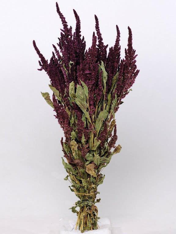 DF Amaranthus red 70 cm