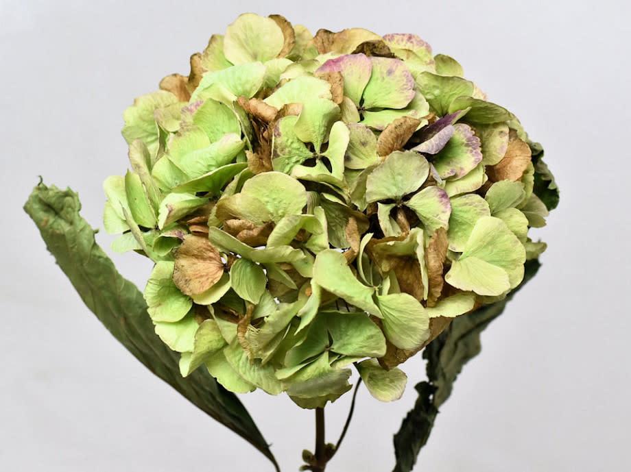 DF hortensia natural XL ( 15cm) 75 cm per piece