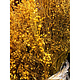 DF broom bloom yellow 50 cm