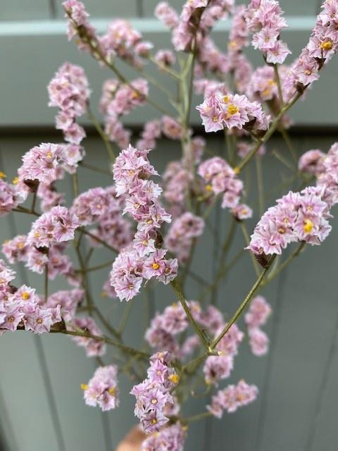 DF Limonium pink 60 cm