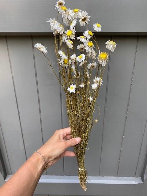 DF acroclinium white 50 cm