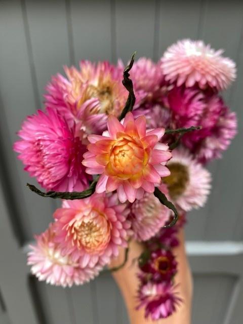 DF helichrysum pink 45 cm