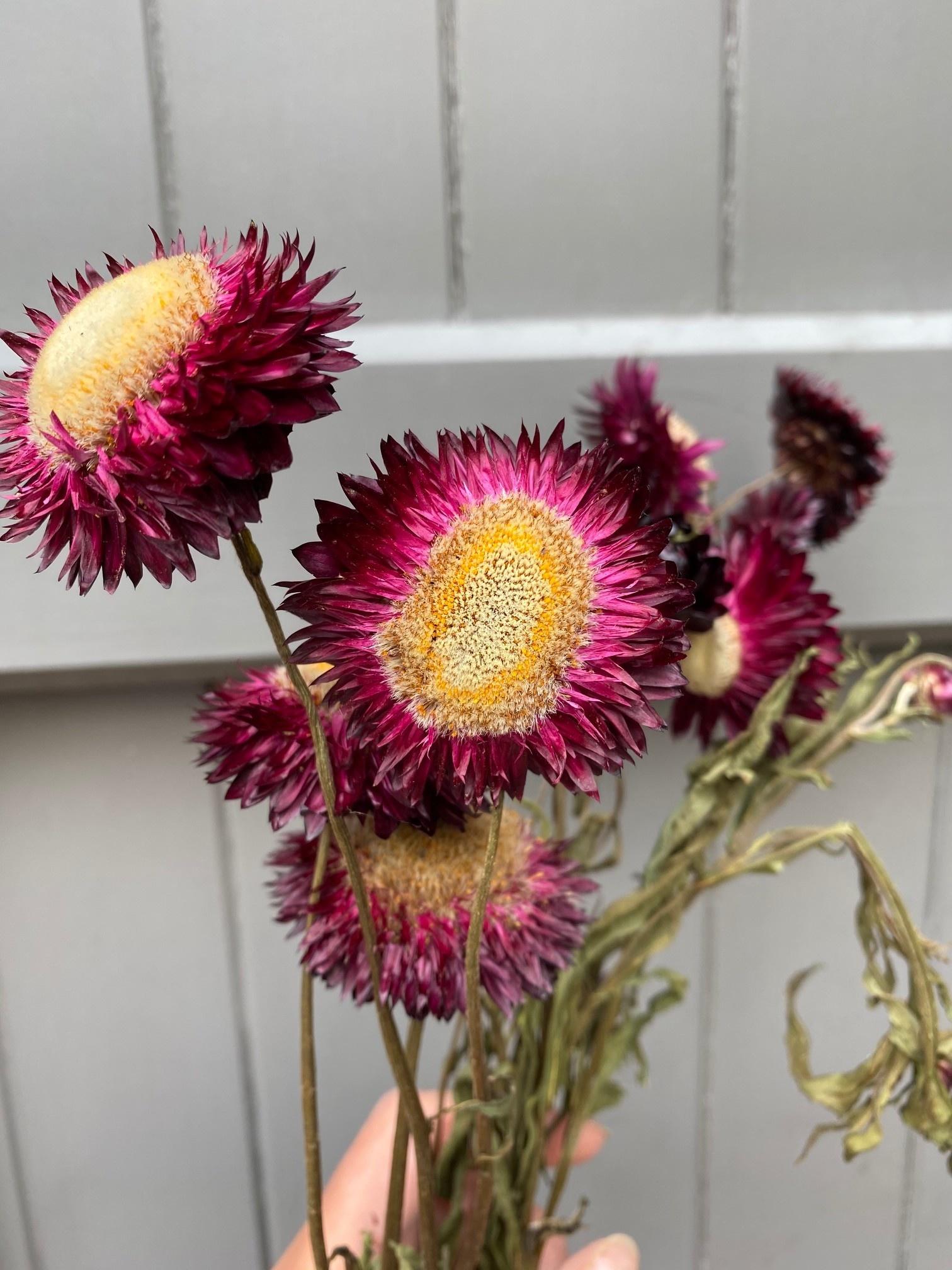DF Helichrysum dark purple 45 cm