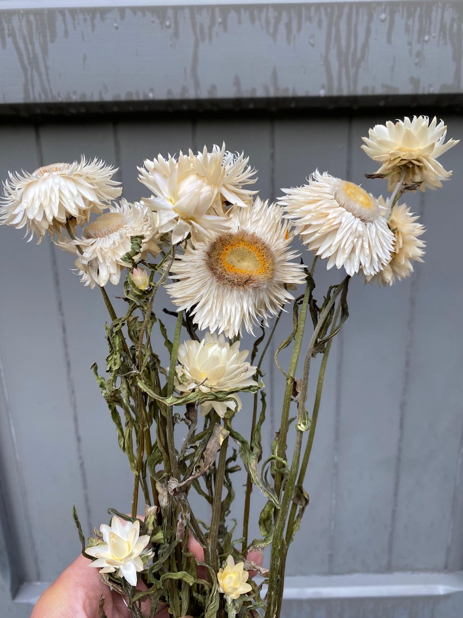 DF Helichrysum creme 45 cm