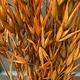 DF oats orange 70 cm