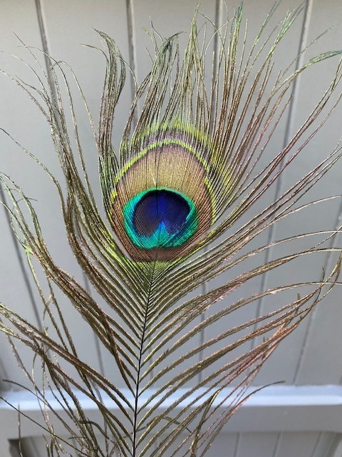AA Peacock feather per piece