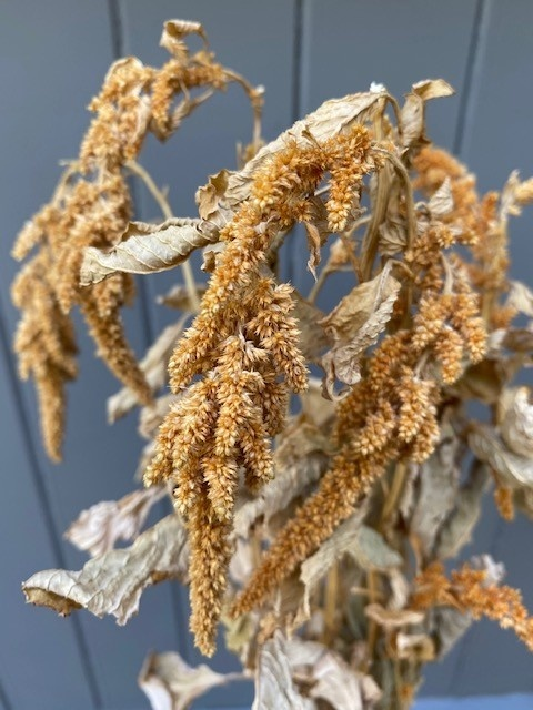 DF Amaranthus Orange 70 cm per stem